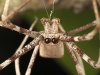 spiders_alan_henderson_151