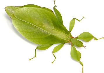 minibeast - Australian Leaf Insect