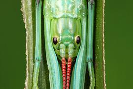 Phasmida resources