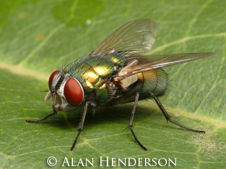 Australian Sheep Blowfly, one of Australia's common flies.