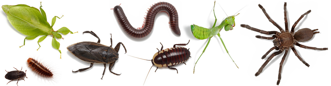 Pet insects - pet bugs