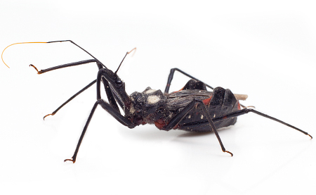 Assassin bug2