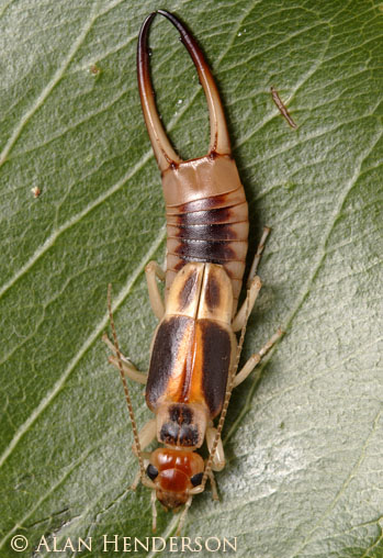 Earwigs - Australian Brown Earwig (Labidura truncata)