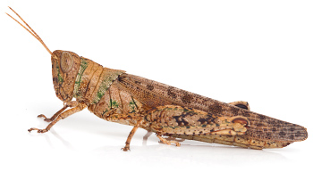 Collared Grasshopper - Pardillana ampla