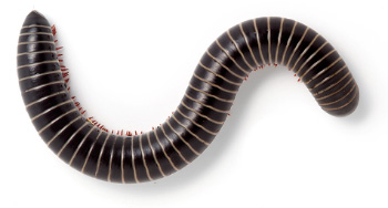 Cooktown Red-legged Millipede