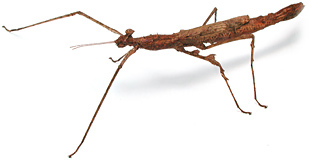 Buying a pet stick insect