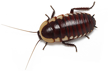 Fringed Cockroach