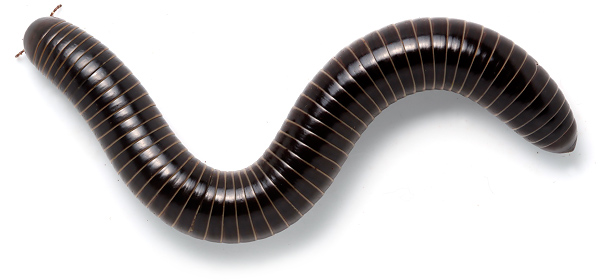 Giant scrub millipede