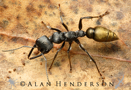 Golden bull ant