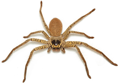 Golden huntsman