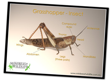 Classroom posters - grasshopper