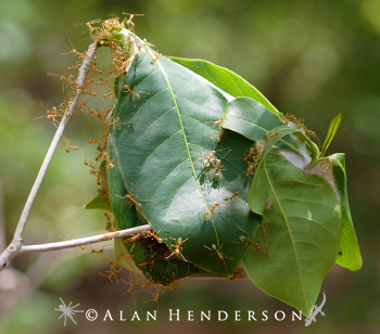 Green Tree Ants in their nest - leaves woven together with silk.