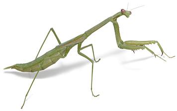 Green desert mantis
