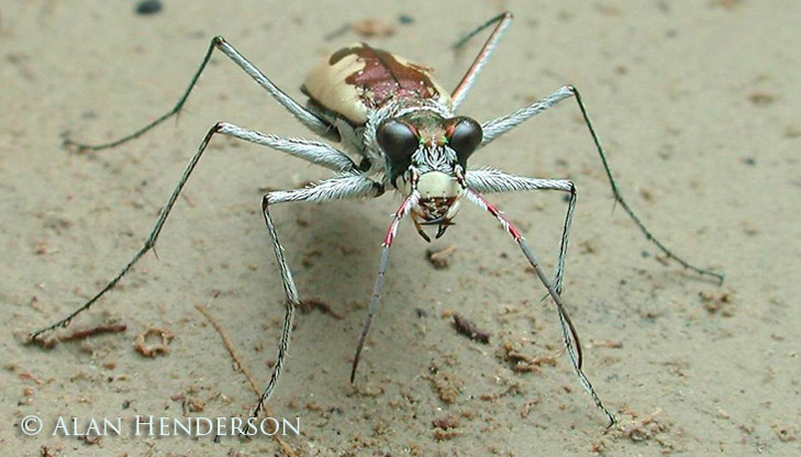 A Grey Tiger Beetle, Cicindela sp.. These tiger beetles are the fastest insects on six legs.
