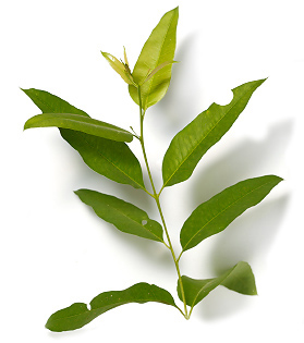 Fresh leaves need to be available for phasmids to feed on at all times. Many species will feed upon gum leaves, while some are more specialised requiring particular species of plants.