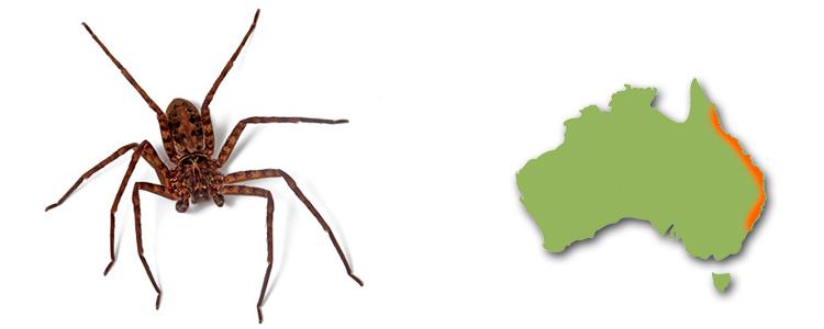 Jungle huntsman, Heteropoda jugulans
