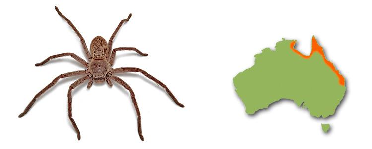 Queensland grey huntsman, Isopedella conspersa