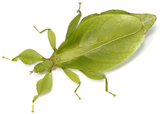 Leaf insect Phyllium monteithi