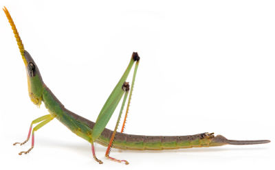 Matchstick grasshopper2 - Bundinja sp