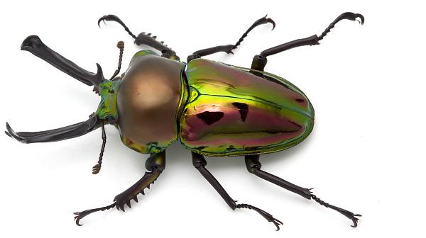 Minibeast programs - Rainbow Stag Beetle