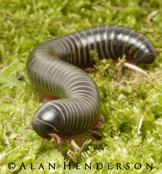 Millipedes - Australian Rainforest Millipede