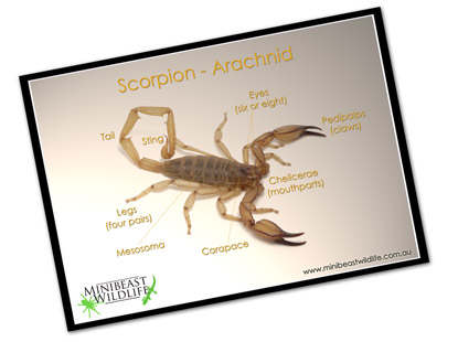 Classroom posters - scorpion