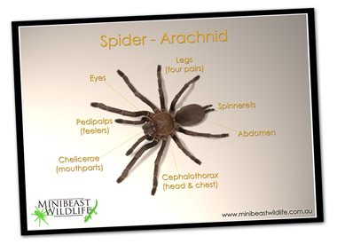 Classroom posters - spider