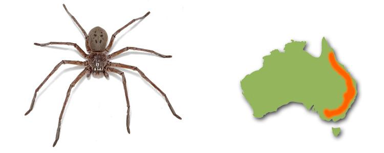 Green-bellied huntsman, Typostola barbata