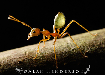A Green Tree Ant worker