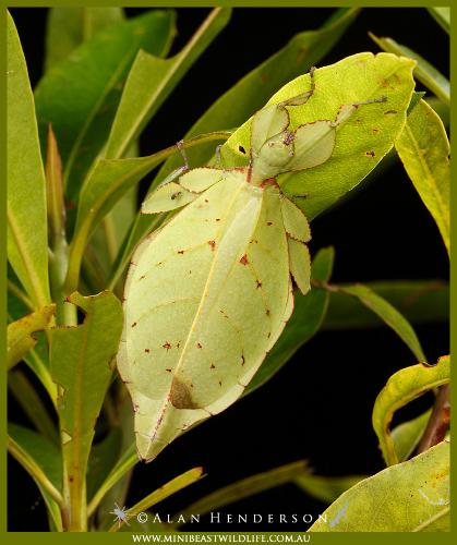 Phyllium monteithi - wild female found in Kuranda.