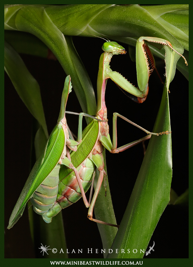 pregnant praying mantis baby