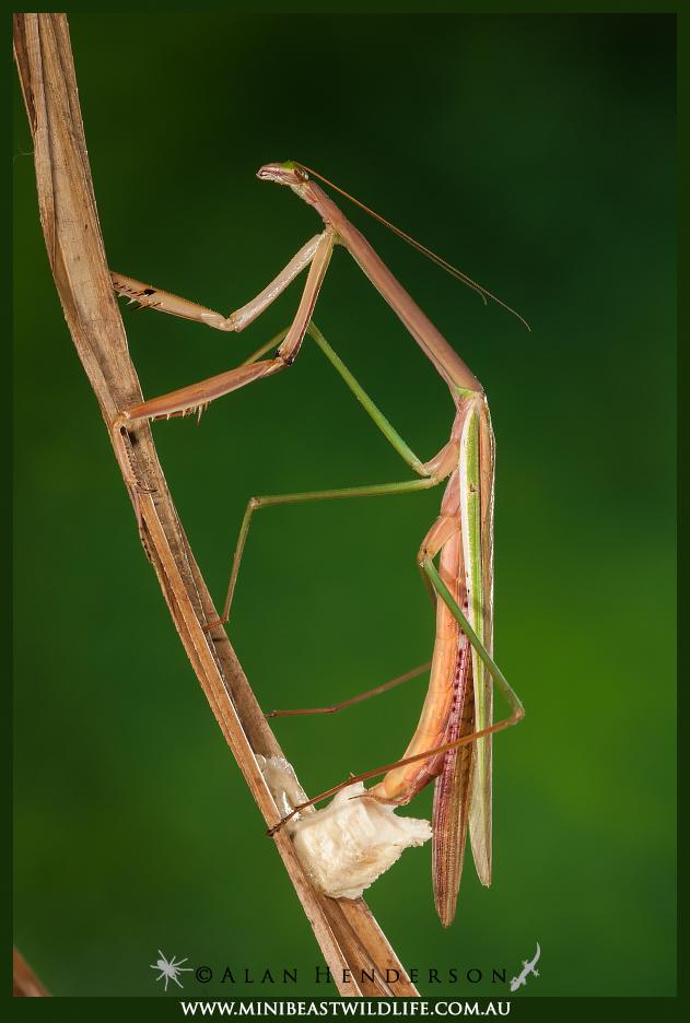 Australian Praying Mantises Minibeast Wildlife