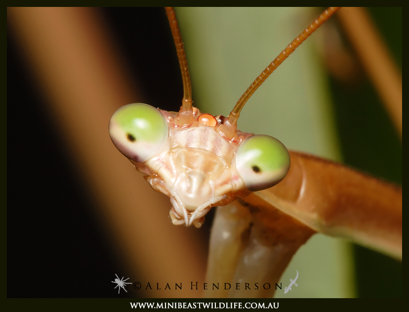 Tenodera australasiae