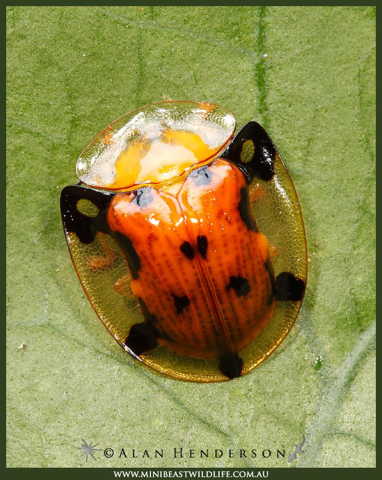 Beach Tortoise beetle - Aspidimorpha westwoodi