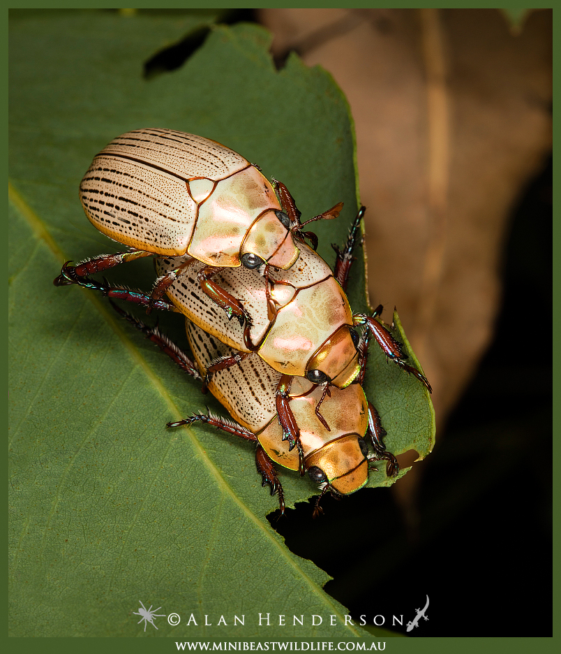 Christmas beetle threesome