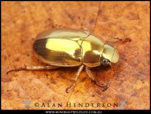 Golden Christmas Beetle, Anoplognathus aureus