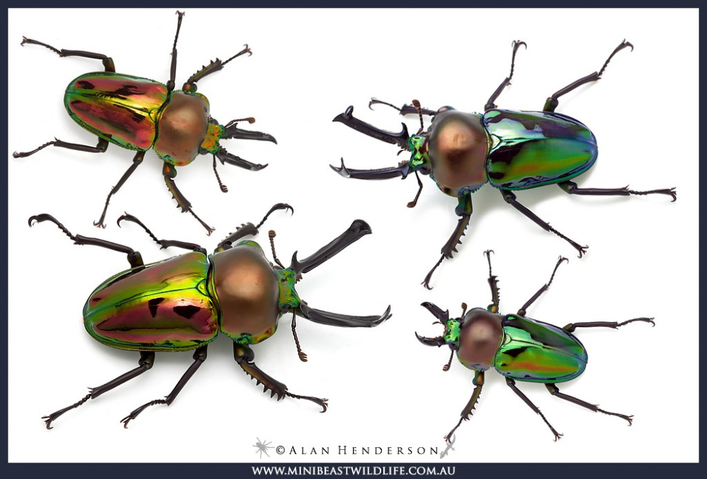 Some of the captive bred Rainbow Stag Beetles we have available in our Bugshop.