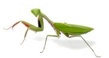hierodula-majuscula-female