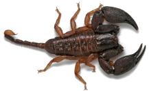hormurus-waigiensis