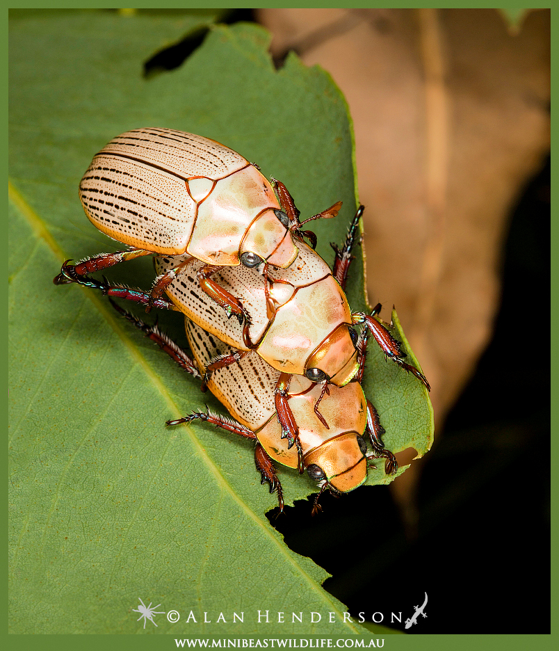 Christmas beetle threesomeB
