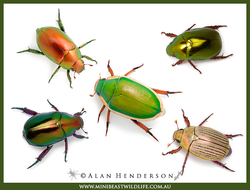 Christmas beetles comp