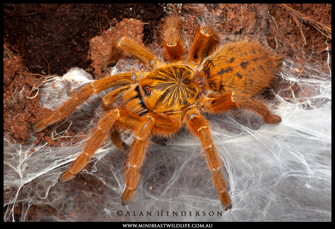 The Orange Baboon Tarantula (Pterinochilus murinus) from Africa is beautiful, but not native to Australia.