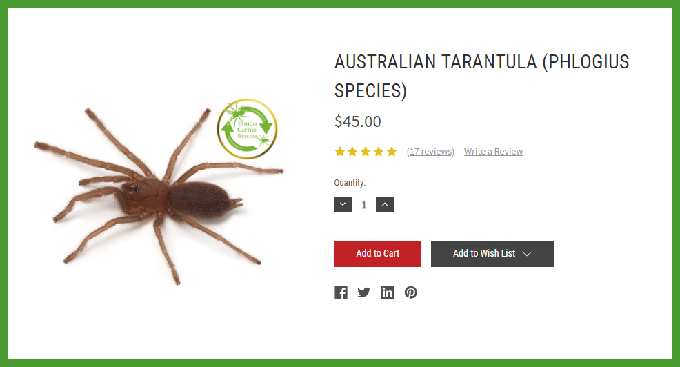 At Minibeast Wildlife we practice ethical captive-breeding, guaranteeing that we don't sell wild-caught tarantulas.