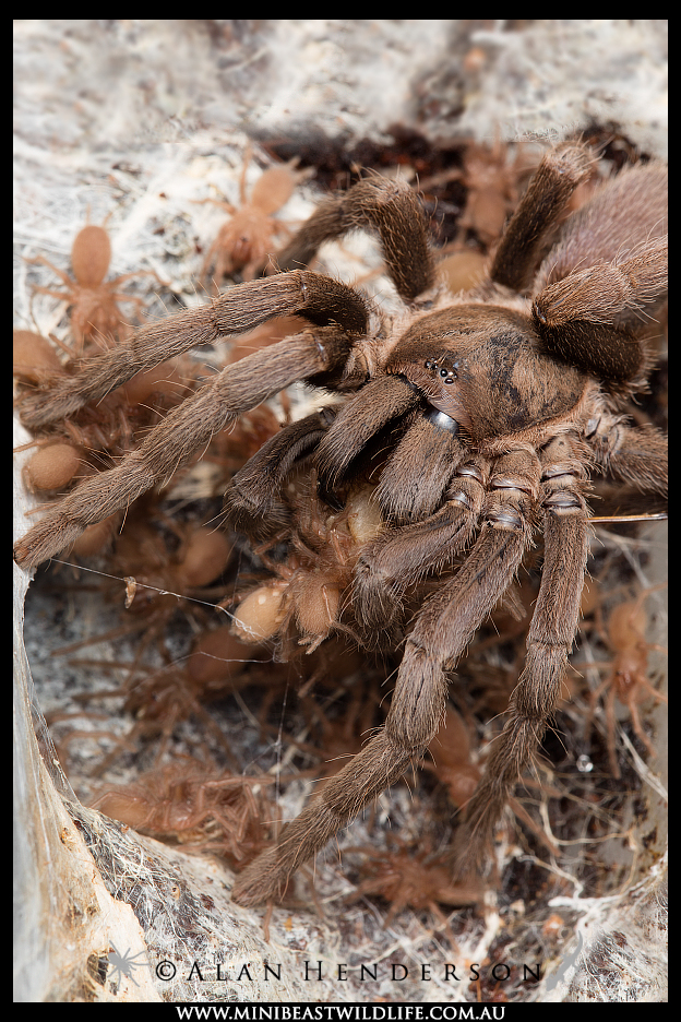 Captive breeding - adorable, with the added bonus of protecting tarantulas from poaching