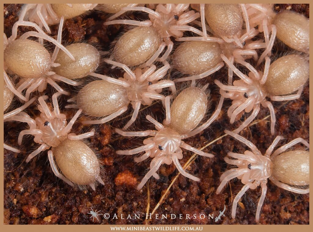 "1st instar Phlogius species tarantulas - also known as ""slings"" - Alan Henderson, Minibeast Wildlife"