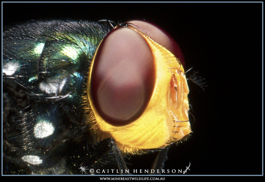 The large compound eyes of the Snail Parasite Blowfly (Amenia imperialis).