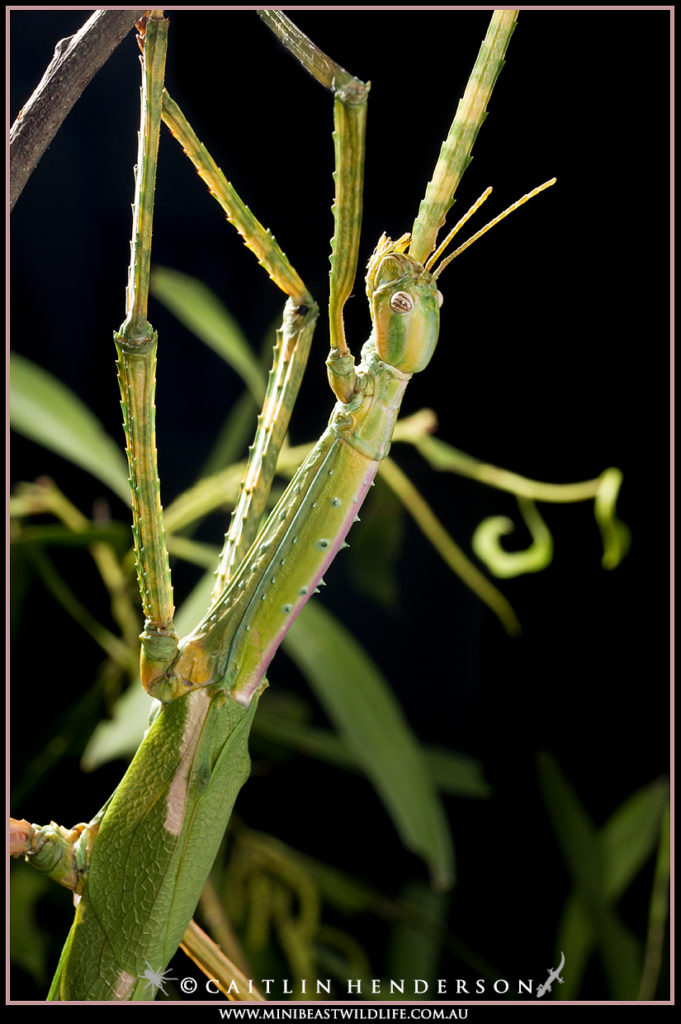 The Darwin Stick Insect is one of Australia's most spectacular phasmids.