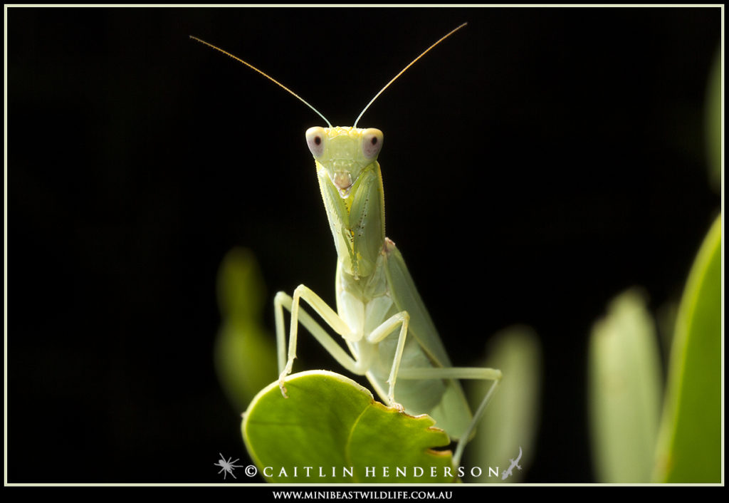 Praying mantids have the uncanny ability to appear to be watching us wherever we go.