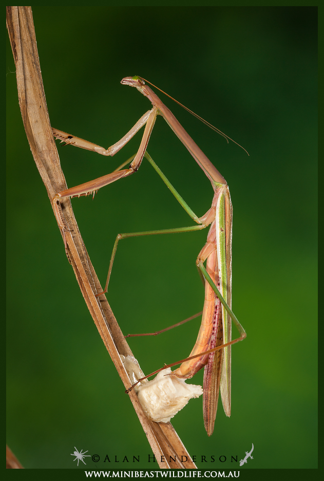 A Purple-winged mantis (Tenodera australasiae) in the process of encasing her eggs in a foamy protein cover. This hardens into an ootheca, which can often be found glued to sticks or leaves.