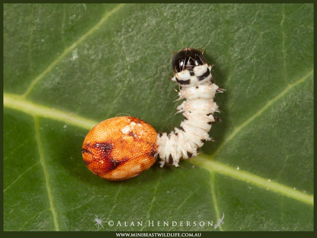 A Hercules moth caterpillar emerging from the egg.